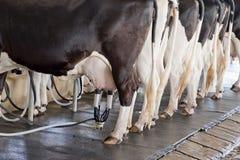 De koe geeft overvloed van melk stock afbeeldingen