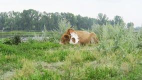 De koe heeft een rust bij de rivier stock video