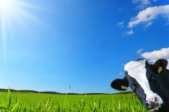 De koe kijkt met een achtergrond van een groene weide en een blauwe hemel Stock Afbeelding