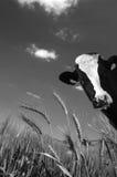 De koe kijkt met een achtergrond van een groene weide en een blauwe hemel Stock Afbeeldingen