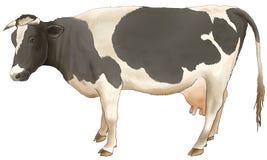 De koe kost en ziet eruit. Stock Foto