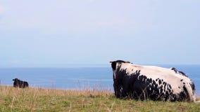 De koe ligt op de kust en het bekijken het overzees stock footage