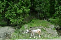 De koe loopt langs de weg tegen de achtergrond van het bos stock afbeelding