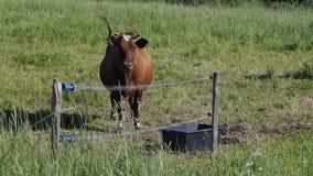 De koe neigt zijn hoofd stock videobeelden