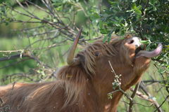 De koe op gras eet meer dan gras Stock Afbeelding