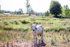 De koe op het gebied eet gras na het oogsten royalty-vrije stock afbeeldingen