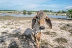 De koe op het gebied na oogst in Zuidoost-Azië, Thailand Stock Foto