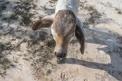 De koe op het gebied na oogst in Zuidoost-Azië, Thailand Royalty-vrije Stock Foto's