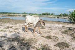 De koe op het gebied na oogst in Zuidoost-Azië, Thailand Stock Afbeeldingen