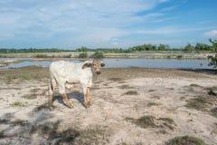 De koe op het gebied na oogst in Zuidoost-Azië, Thailand Stock Fotografie