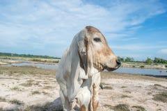 De koe op het gebied na oogst in Zuidoost-Azië, Thailand Stock Foto's