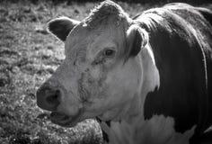 De koe op het gras Stock Foto's