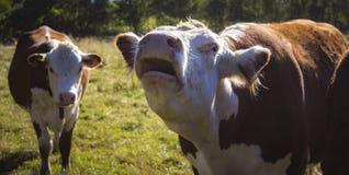 De koe op het gras Stock Foto