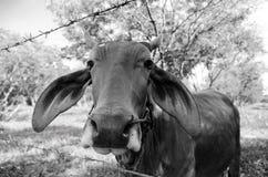 De koe in Thailand met zwart-witte kleur Stock Fotografie