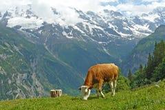 De Koe van alpen Stock Afbeelding