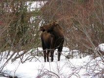 De koe van Amerikaanse elanden Royalty-vrije Stock Afbeelding
