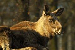 De koe van Amerikaanse elanden (Alces alces) Stock Afbeeldingen