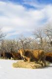 De koe van Angus eet hooi tijdens de winter Stock Afbeeldingen