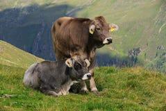 De koe van de alp royalty-vrije stock foto