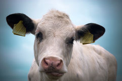 De koe van de baby stock afbeelding