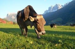 De koe van de dolomietberg Stock Afbeelding