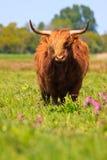 De koe van de Hooglander royalty-vrije stock fotografie