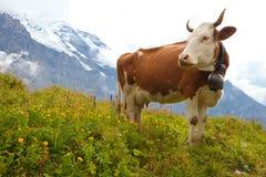 De koe van de melk op weide in de Alpen Stock Foto