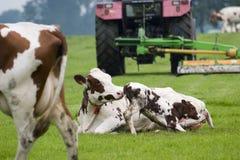 De koe van de moeder en een kleine jonge os Stock Foto