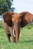 De koe van de olifant Stock Foto