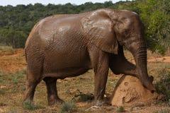 De koe van de olifant het stellen. stock afbeelding