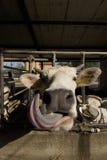 De koe van de tong Stock Afbeelding