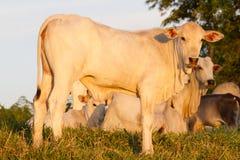 De koe van de zeboe Stock Foto