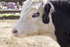 De koe van Galloway royalty-vrije stock afbeeldingen