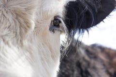 De koe van Galloway stock afbeeldingen