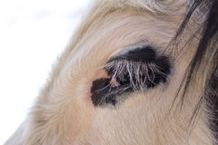 De koe van Galloway Royalty-vrije Stock Afbeelding