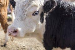 De koe van Galloway stock fotografie