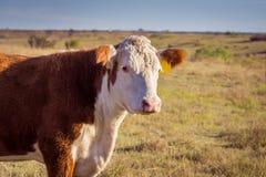 De koe van Hereford stock fotografie
