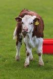 De koe van Hereford Stock Foto