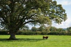 De Koe van het hoogland stock foto