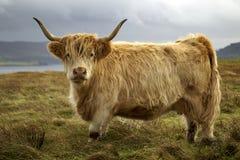 De koe van het hoogland royalty-vrije stock afbeelding