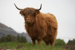 De Koe van het hoogland Royalty-vrije Stock Foto's