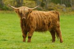 De koe van het hoogland Stock Foto's