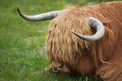 De Koe van het hoogland Stock Afbeeldingen