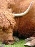 De koe van het hoogland Royalty-vrije Stock Afbeeldingen