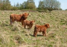 De koe van het hoogland met haar twee kalveren Stock Afbeeldingen