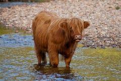 De koe van het hoogland in rivier Stock Foto