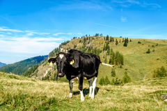 De koe van Holstein in het weiland van de Oostenrijkse alpen Royalty-vrije Stock Foto