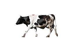 De koe van Holstein op geïsoleerde witte achtergrond royalty-vrije stock fotografie