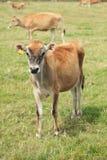 De koe van Jersey Royalty-vrije Stock Foto's
