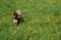 De Koe van Jersey stock afbeeldingen